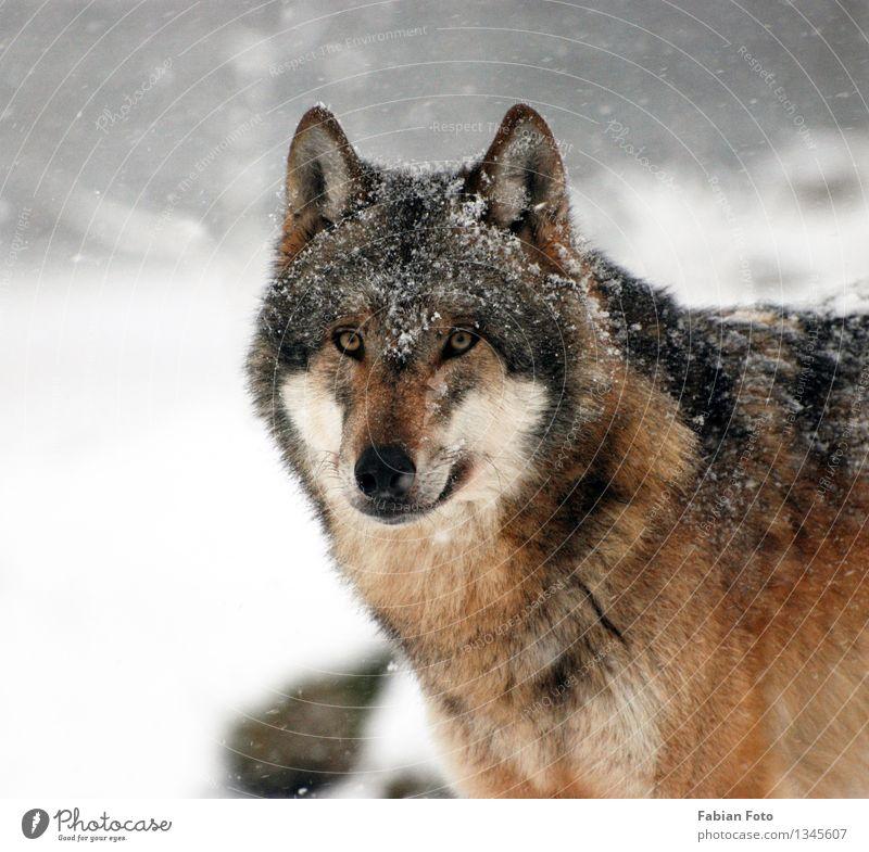 Wolf Tier Winter Eis Frost Schnee Schneefall Wald Wildtier Zoo Wölfe 1 Schüchternheit Stolz Natur Farbfoto Außenaufnahme Schwache Tiefenschärfe Porträt