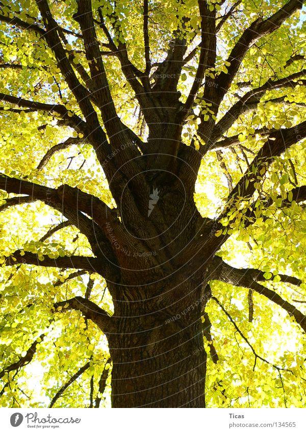Herbstgold alt Baum Blatt Park Ast stark Jahreszeiten Baumstamm Baumrinde