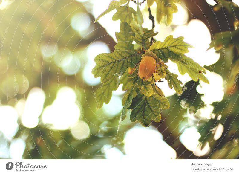 herbstlich Natur Schönes Wetter Garten Park Wärme Eicheln Herbst Blatt Zweig Zweige u. Äste Jahreszeiten Unschärfe Frucht Baum Naturliebe natürlich schön