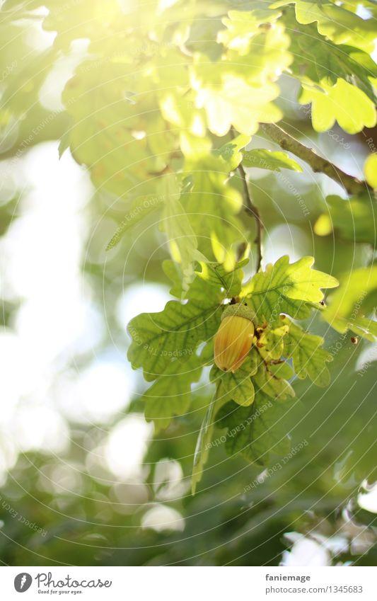 Herbstbeginn Natur Sonne Sonnenlicht Schönes Wetter Baum Garten Park schön luftig frisch grün Blatt Eicheln Frucht Zweig Zweige u. Äste herbstlich Jahreszeiten
