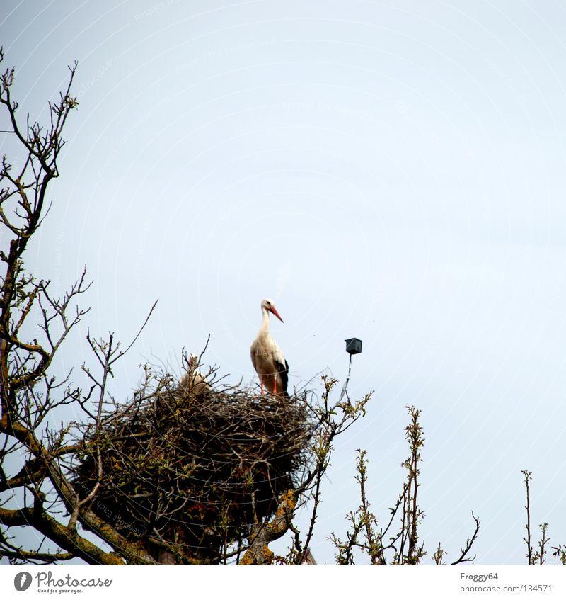 Stolzer Hausbesitzer Dach Baum Nest Storch Vogel Gelege Brutpflege Futter Nahrungssuche Feder schwarz weiß Wolken überwachen Schnabel Frühling Luftverkehr Ast