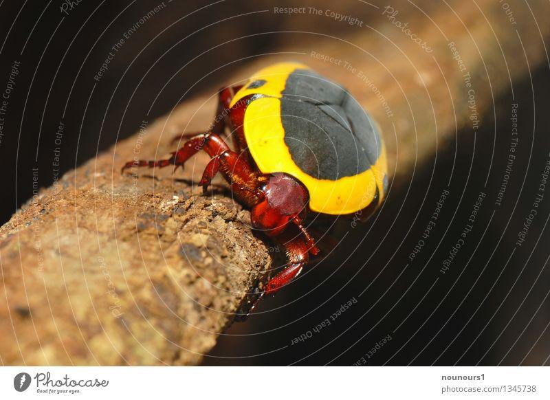 Kongorosenkäfer Tier Wildtier Käfer Zoo 1 krabbeln glänzend stark braun gelb schwarz Ast exotisch kongorosenkäfer Rosenkäfer Farbfoto mehrfarbig Innenaufnahme