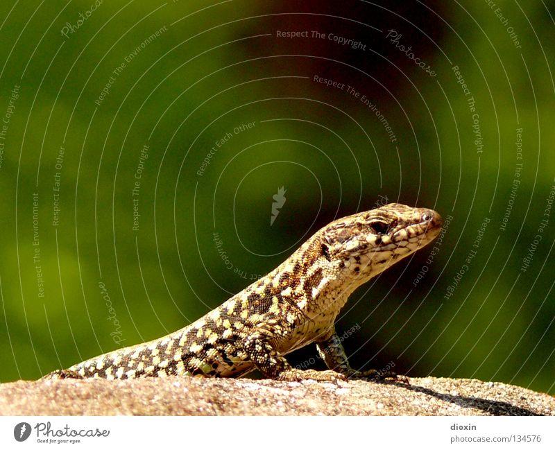 Podarcis muralis Weinberg Echsen Reptil Echte Eidechsen Schwanz Krallen Stein Felsen echte Eidechse Scheune Biotopspektrum Mauer Hohlraum Burgruine Kulturfolger