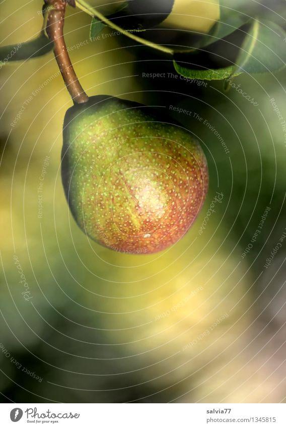 Birne Natur Pflanze Gesunde Ernährung Blatt gelb Herbst natürlich Gesundheit braun Frucht Wachstum frisch gold süß rund hängen