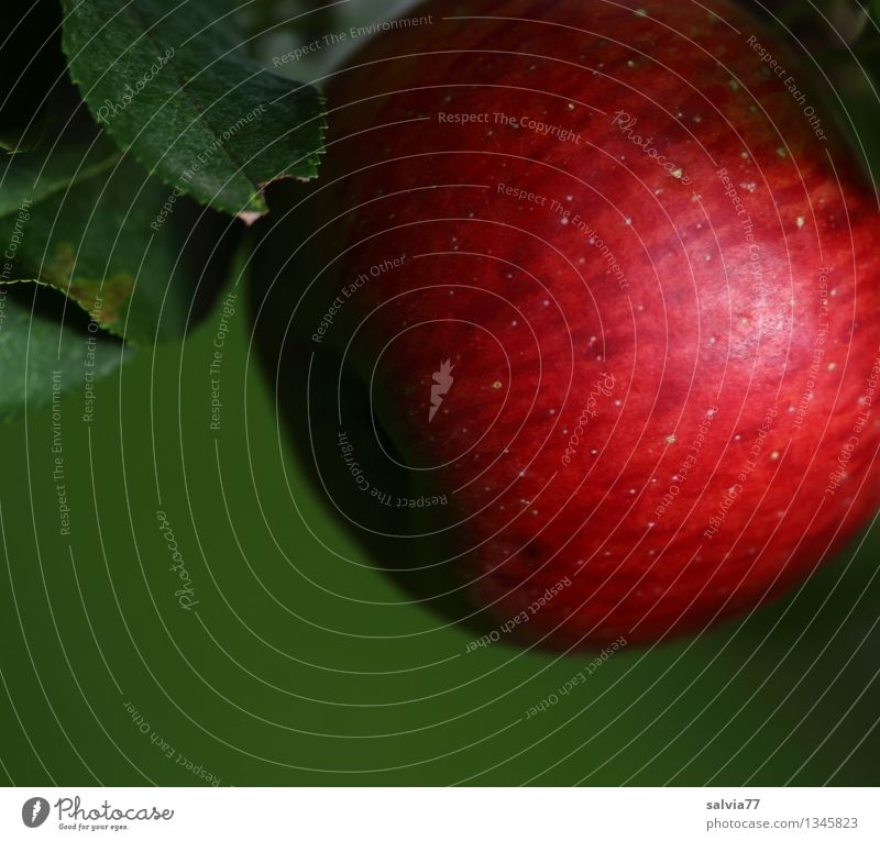 Rotbäckchen Lebensmittel Apfel Ernährung Bioprodukte Vegetarische Ernährung Gesunde Ernährung Sinnesorgane Natur Pflanze Herbst Nutzpflanze hängen leuchten