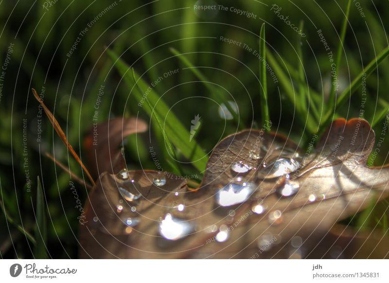 Tautropfen auf Buchenlaub Natur Pflanze Wassertropfen Frühling Herbst Wetter schlechtes Wetter Gras Blatt Grünpflanze Garten Park Wiese Menschenleer Tropfen