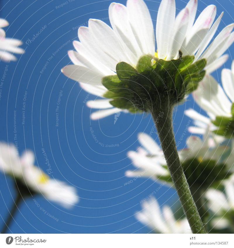 AmeisenAnsicht ruhig Sommer Himmel Frühling Wetter Schönes Wetter Wärme Blume Gras Blüte Wiese blau weiß Jahreszeiten azurblau himmelblau Stengel Blumenwiese