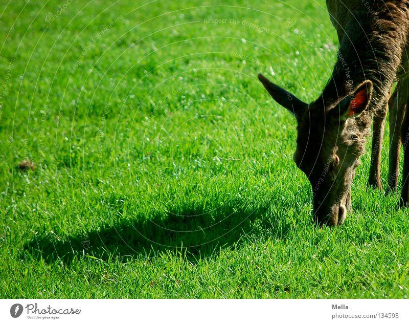 Gestatten: Kartoffelpü Reh grün schön Tier Ernährung Wiese Gras braun Wildtier Ecke niedlich Ohr Rasen Fressen Säugetier Schüchternheit Reh
