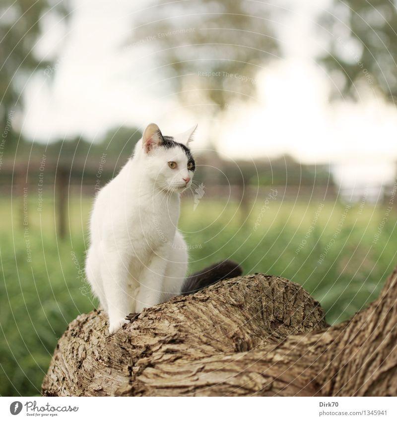Posieren für den Photographen Natur Sommer Schönes Wetter Baum Gras Blatt Baumstamm Baumrinde Weide Wiese Feld Weidezaun Tier Haustier Katze 1 beobachten hocken