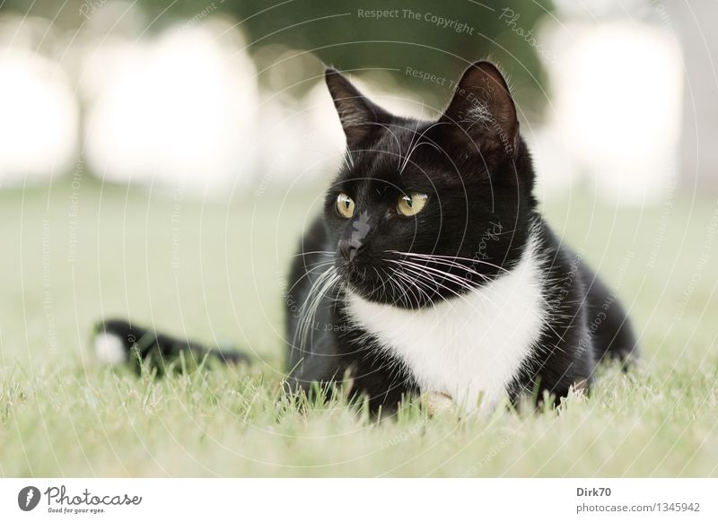 Aufmerksamer Beobachter Katze Natur grün schön Sommer weiß Baum Erholung ruhig Tier schwarz Wiese Gras Garten liegen Park