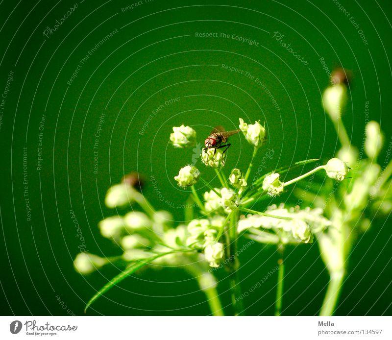 Fliegenfrühling Natur weiß grün Pflanze Blume Tier Umwelt Frühling Blüte fliegen sitzen mehrere 3 Flügel viele Schutz