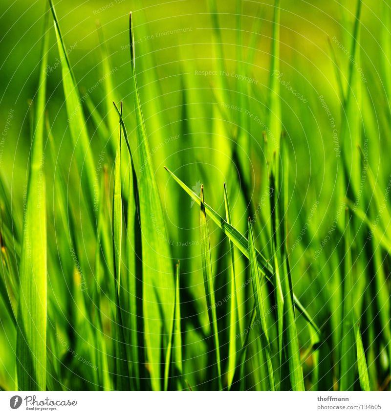 Frühlings Durchblick grün Pflanze Sommer Wiese Gras Frühling Spitze Weide Halm rasenmähen