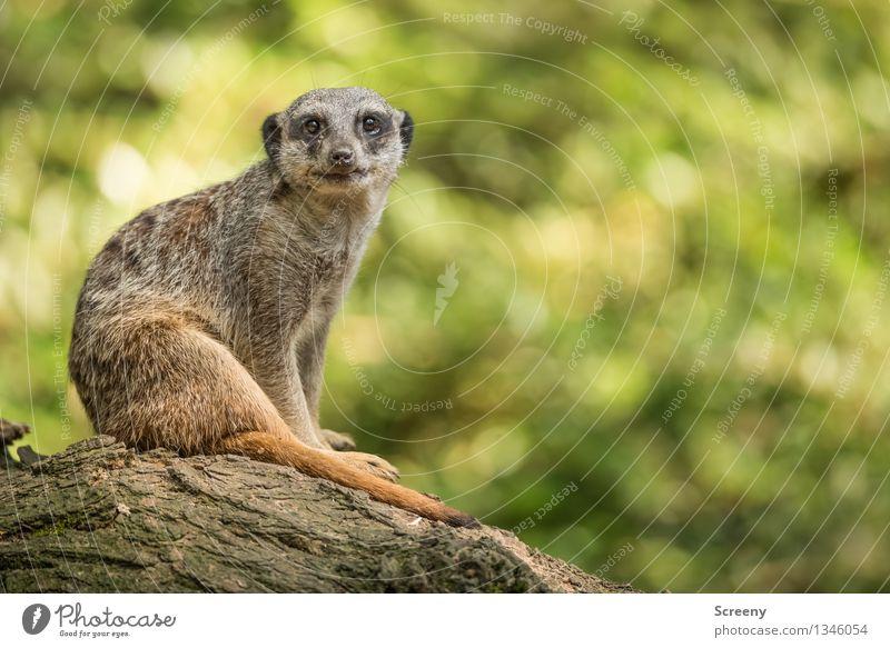 Guck nicht so... Natur Tier Sommer Schönes Wetter Wildtier Erdmännchen 1 Holz beobachten sitzen achtsam Wachsamkeit Kontrolle Erholung Unschärfe Farbfoto