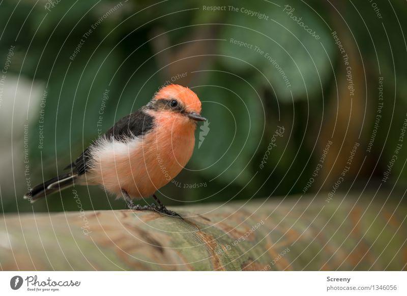 Kleiner Beobachter Natur Pflanze Tier Baum Vogel 1 beobachten sitzen warten klein rosa gefiedert Farbfoto Detailaufnahme Makroaufnahme Menschenleer Tag