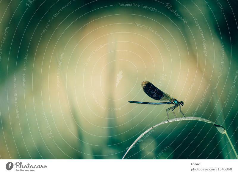 200 | Libellchen Natur Pflanze Tier Sommer Schönes Wetter Gras Halm Wiese Wildtier Flügel Libelle 1 berühren hocken sitzen elegant klein Farbfoto Außenaufnahme