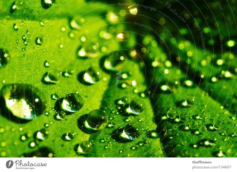 Die Perlen der Natur Wasser grün Sommer Blatt Frühling Regen nass Wassertropfen Seil Kugel Lichtbrechung Frauenmantel