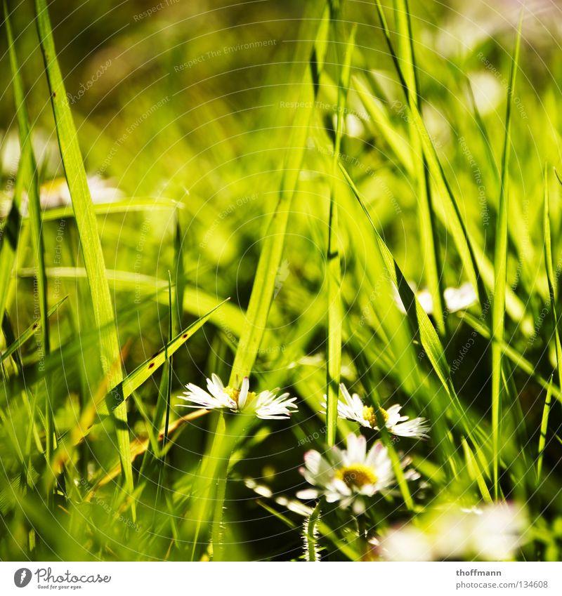 Es war einmal ein Gänsenblümchen grün Pflanze Sommer Blume Wiese Blüte Gras Frühling Wetter Blumenstrauß Gänseblümchen Beet Unschärfe