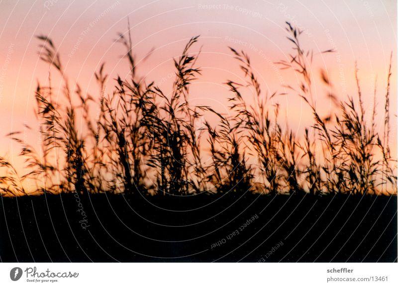 Gras im Gegenlicht Himmel Wiese Gras