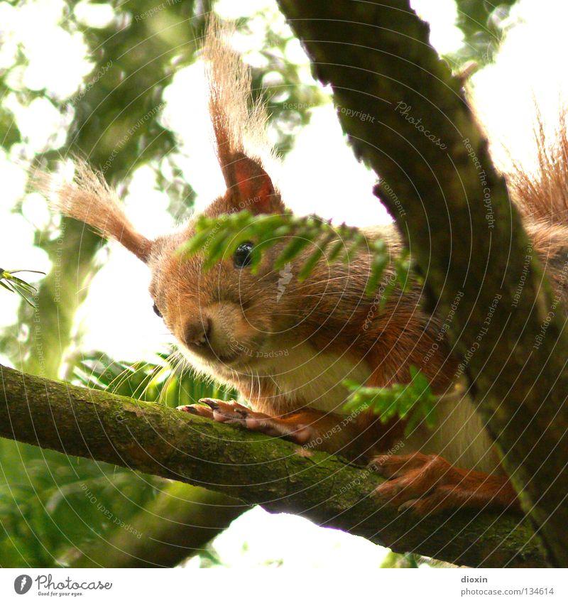 I´m horny Eichhörnchen Eiche Nagetiere Säugetier Fell Schwanz buschig Auge Knopfauge Ernährung Wald Haare & Frisuren Pinsel Ohr süß niedlich braun Pfote