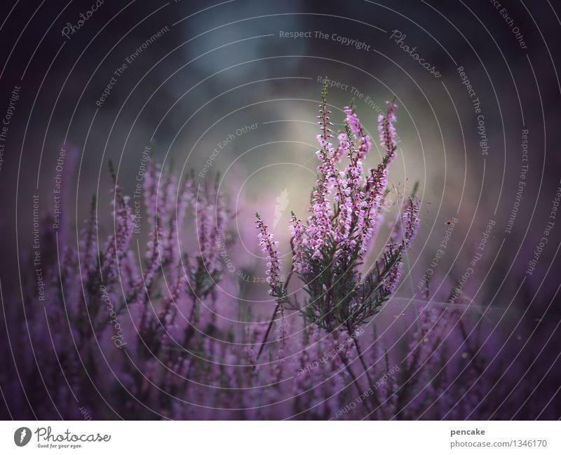 die schöne erika Natur Pflanze Sommer Blume Landschaft Erwachsene Herbst außergewöhnlich Wachstum Zeichen violett Wildpflanze Heide traumhaft Bergheide