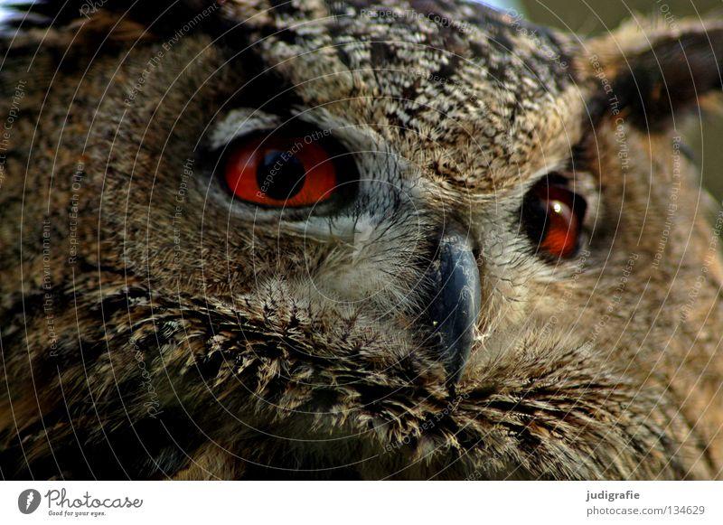 Räuber Eulenvögel Uhu Vogel Greifvogel Schnabel Feder Ornithologie Tier schön Umwelt rot Weisheit klug Farbe Stolz Blick Leben Natur Auge