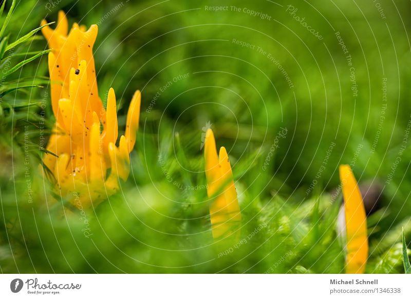 Klebriger Hörnling Natur grün schön Umwelt gelb natürlich klein Freundschaft Pilz