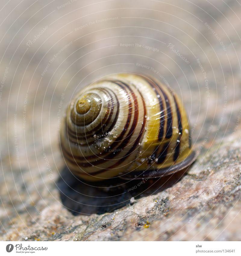 Gastropoda Schnecke Spirale Garnspulen Schneckenhaus langsam Makroaufnahme Nahaufnahme Weichtier Schalen & Schüsseln Schneckenschale
