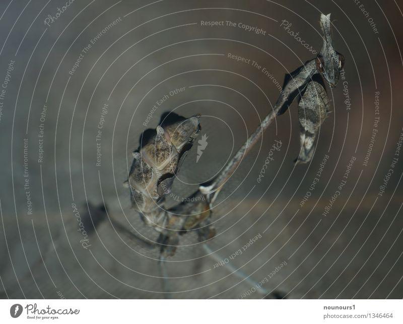 aaargh Tier Wildtier Tiergesicht Zoo Wandelnde Geige 1 schaukeln stehen Außerirdischer Angst Ekel empusidae empusinae Fangschrecken bedrohlich gongylus Farbfoto