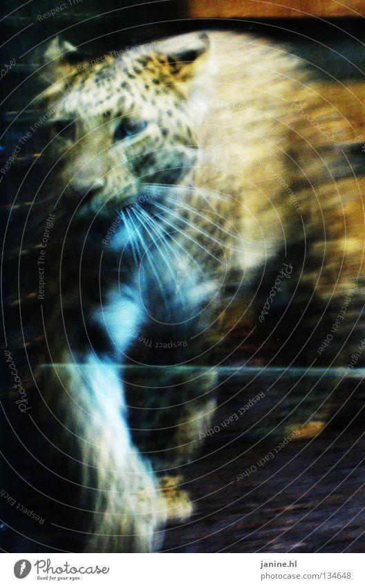 Leopard schön schwarz Tier gelb Katze Bewegung Traurigkeit orange Tanzen Kraft Wildtier gefährlich Europa Kreis Trauer Fell