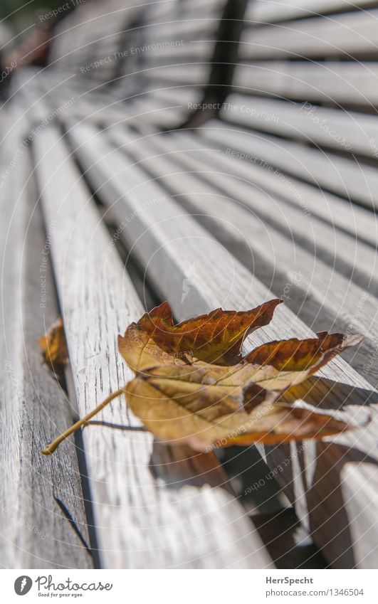 Hrbst Stadt Park Holz ästhetisch trocken braun grau Einsamkeit Holzbank leer Herbst Herbstlaub herbstlich Vergänglichkeit Ahornblatt Parkbank Perspektive