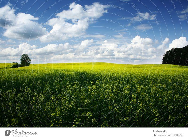 Raps Natur Himmel Sommer gelb Frühling Landschaft Feld Energiewirtschaft Blühend Landwirtschaft Ackerbau ökologisch Bioprodukte Umweltschutz Blauer Himmel