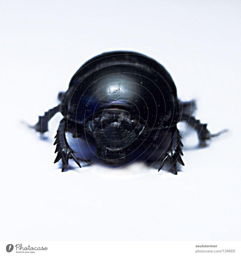 Dicker Käfer Freisteller Insekt Licht Hintergrundbild gefährlich Appetit & Hunger stehen böse gepanzert Panzerkäfer Mistkäfer Schwarzweißfoto Beine Mund