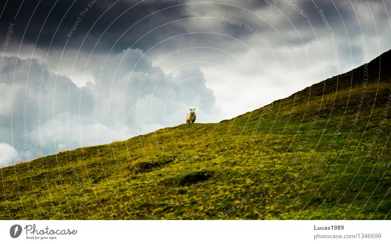 Dramaschaf Natur grün Sommer Landschaft Wolken Tier Berge u. Gebirge Umwelt Herbst Wiese Gras Felsen Wetter Feld Wildtier Wind