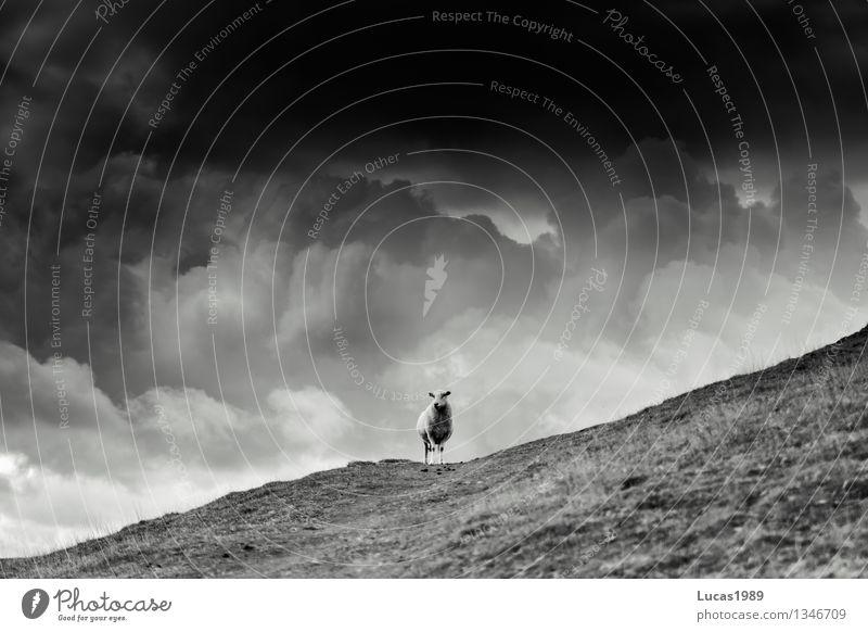 Einmal Unwetter mit Schaf Himmel Natur Einsamkeit Landschaft Wolken Tier dunkel Berge u. Gebirge Umwelt Wiese Gras Felsen Regen Wetter Feld Wildtier