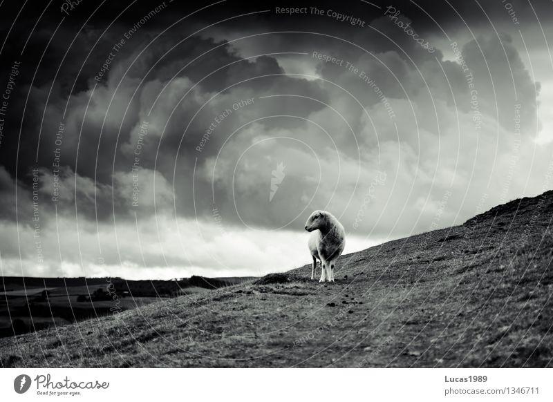 schafstellen Umwelt Natur Landschaft Himmel Wolken Gewitterwolken Herbst Wetter schlechtes Wetter Wind Sturm Regen Wiese Feld Hügel Alpen Berge u. Gebirge Tier