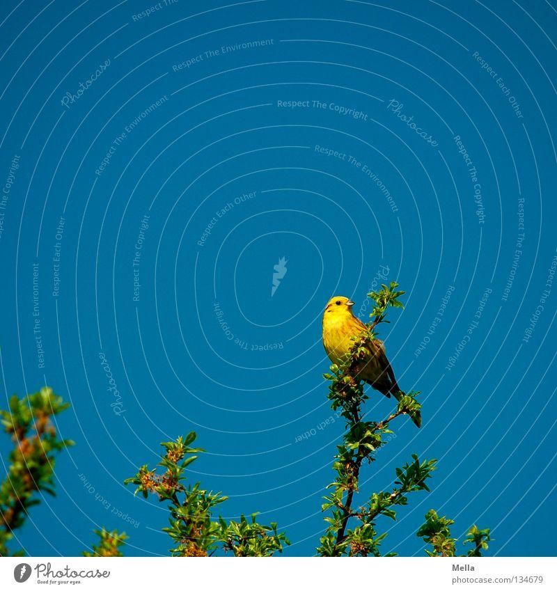 Goldammerfrühling Umwelt Natur Pflanze Tier Frühling Blatt Zweige u. Äste Vogel 1 hocken Blick sitzen natürlich blau gelb Perspektive Farbfoto mehrfarbig