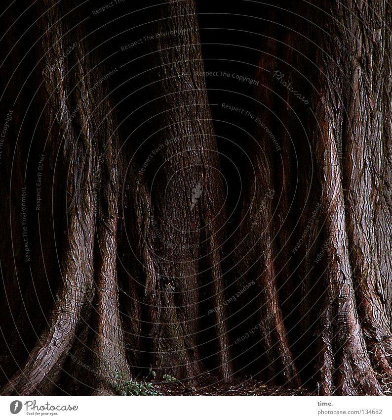 Ältestenrat alt Baum Garten Park braun Tanzen Kraft Baumstamm Furche Schalen & Schüsseln Baumrinde Wurzel halbdunkel