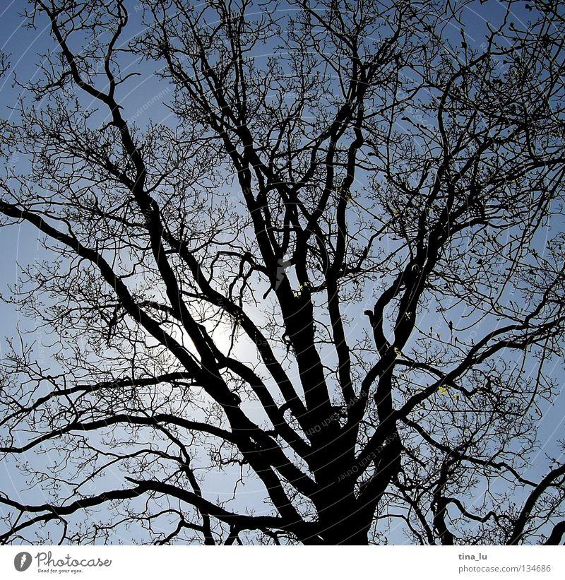 Verzweigung Baum schwarz Gegenlicht Sommer Geäst Himmel Blauer Himmel verzweigt Abzweigung ausbreiten laublos hell dunkel Schattenspiel Silhouette träumen