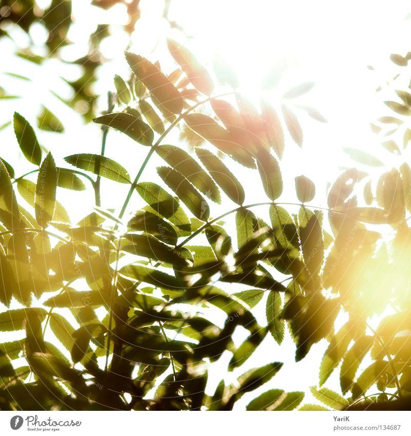 glühwürmchen? Blatt Sträucher Baum grün gelb grün-gelb Sommer Frühling Sonne Licht Reflexion & Spiegelung Sonnenstrahlen glühen durchsichtig Beleuchtung