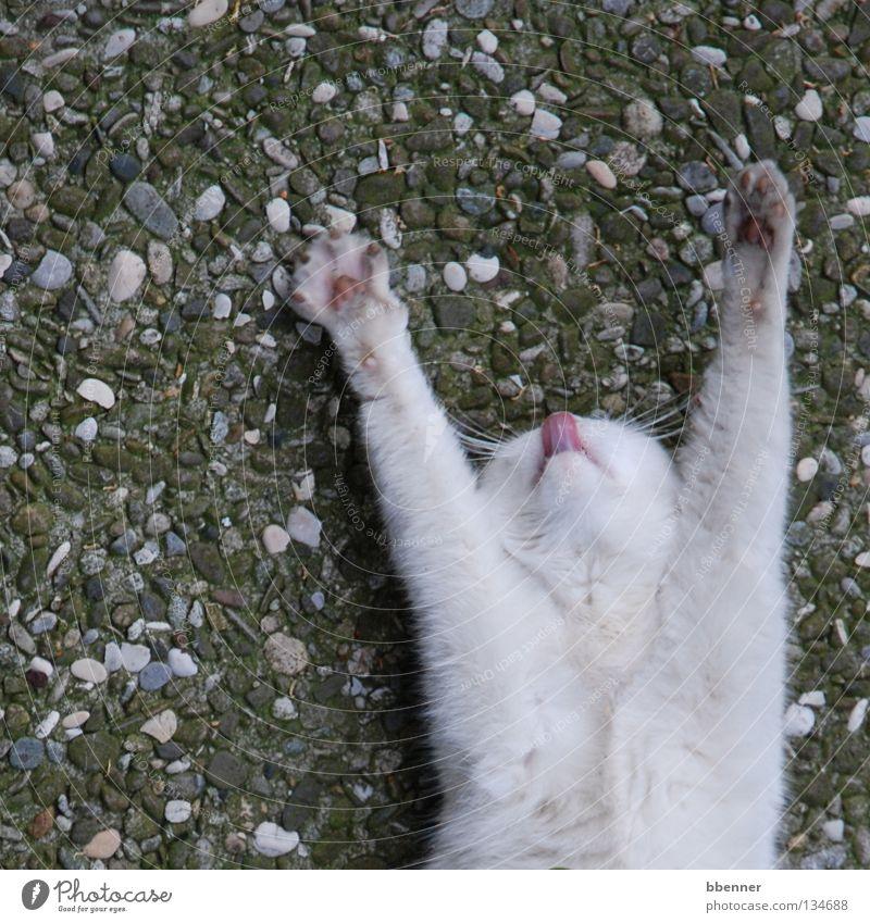Ausgestreckt und abgeschleckt... Katze weiß Pfote Fell lutschen ausgestreckt auf dem Rücken Steinboden Kieselsteine Müllbehälter Vogelperspektive unten