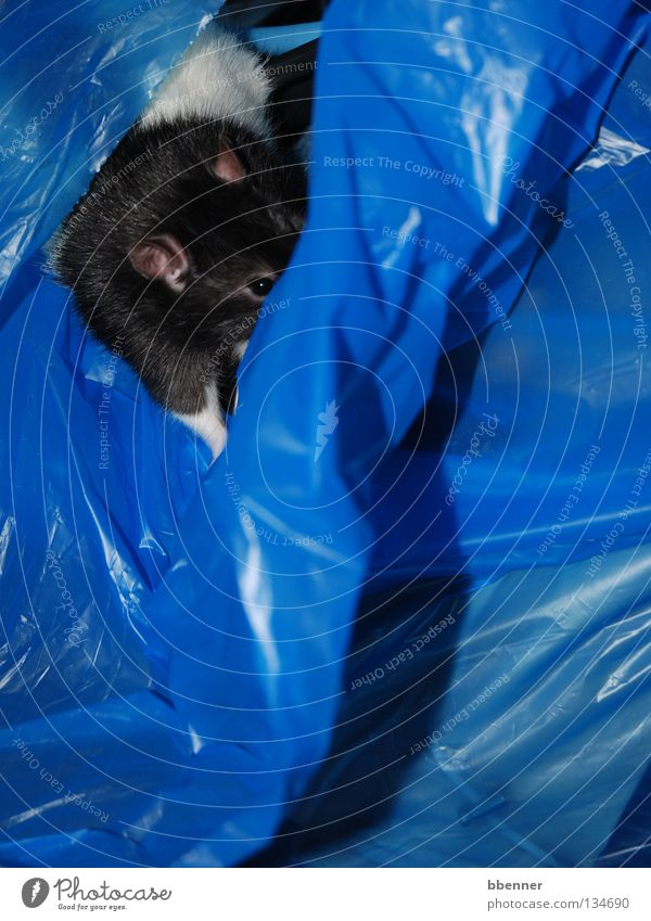 Versteckspiel II Ratte schwarz weiß Pfote Fell Müllbehälter Plastiktüte Neugier Rascheln gefährlich ersticken wegwerfen verstecken Suche finden Säugetier Ohr