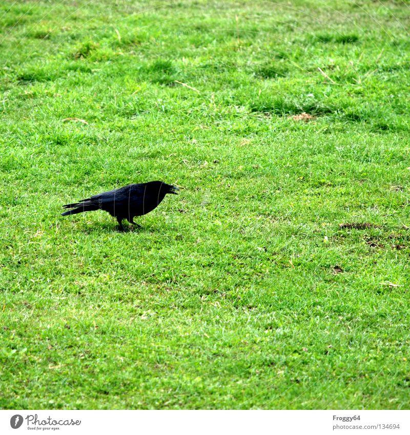 Grosse Klappe! Rabenvögel Vogel schwarz grün Gras Wiese Blume Schnabel Schwanz Tier Zoo Gehege Krähe Frühling Fluss Bach Feder gefieder schwingen fliegen laufen