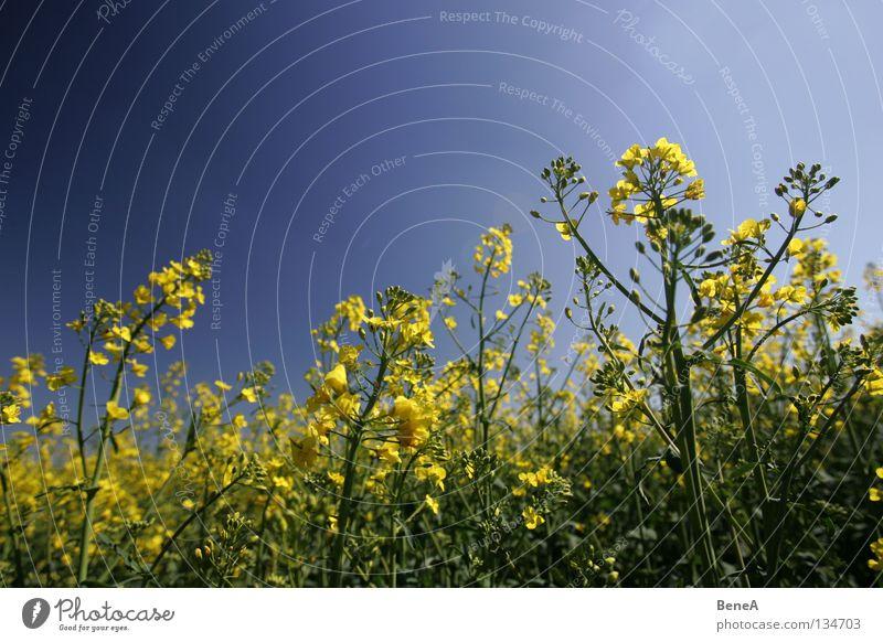 R(h)apsodie Himmel Natur blau grün Sommer Pflanze Blume gelb Leben Frühling Blüte Gesundheit Feld Lebensmittel Energiewirtschaft Wachstum