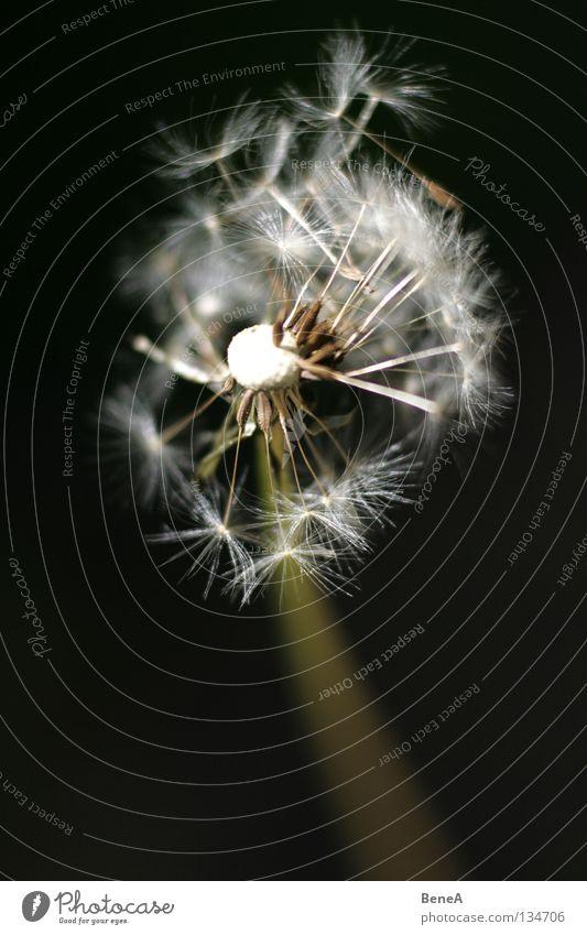 Abgesang Löwenzahn Korbblütengewächs Pflanze Blüte blasen Blume Stengel schwarz dunkel weiß grün Frühling fliegen verteilen Vergänglichkeit zuletzt vergangen