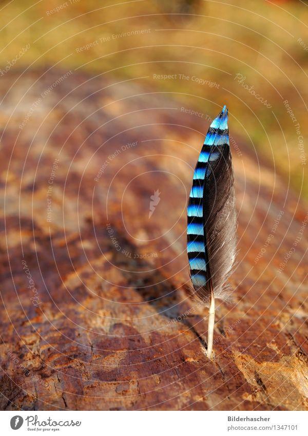 Vogelfeder Feder Flügel Eichelhäher weich zart blau Dekoration & Verzierung Detailaufnahme elegant Schreibfeder sensibel Behaarung Natur organisch schwarz