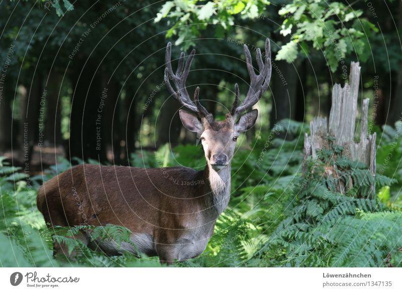 Der König des Waldes Natur Pflanze grün schön Sommer Baum ruhig Tier natürlich braun Stimmung Kraft Wildtier frei authentisch