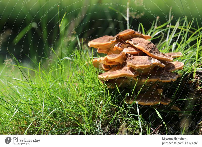 happy mushrooms... Natur Pflanze grün schwarz Herbst Gras natürlich braun Stimmung Wachstum Fröhlichkeit Schönes Wetter entdecken Halm Pilz herbstlich