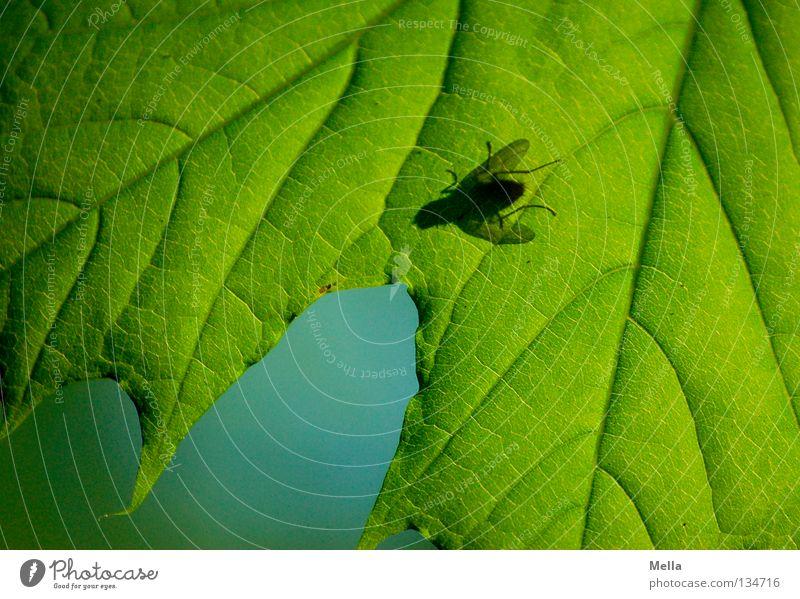 Fliegenfrühling II blau grün Baum Blatt Frühling Beine Beleuchtung Flügel Gemälde unten Insekt durchsichtig Ahorn Blattadern Schmeißfliege
