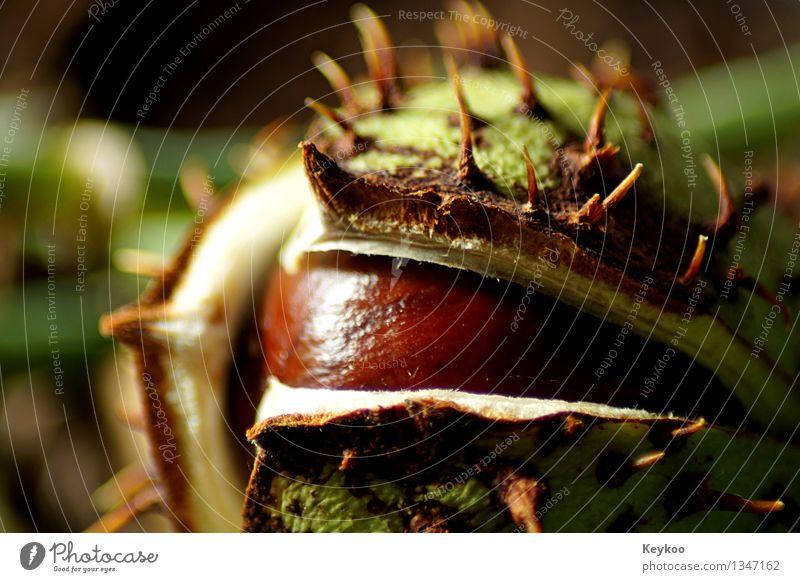 Kastanie im Herbst Natur Pflanze Baum Garten Park Wald ästhetisch frisch schön wild braun grün Farbfoto Nahaufnahme Tag Sonnenlicht Schwache Tiefenschärfe