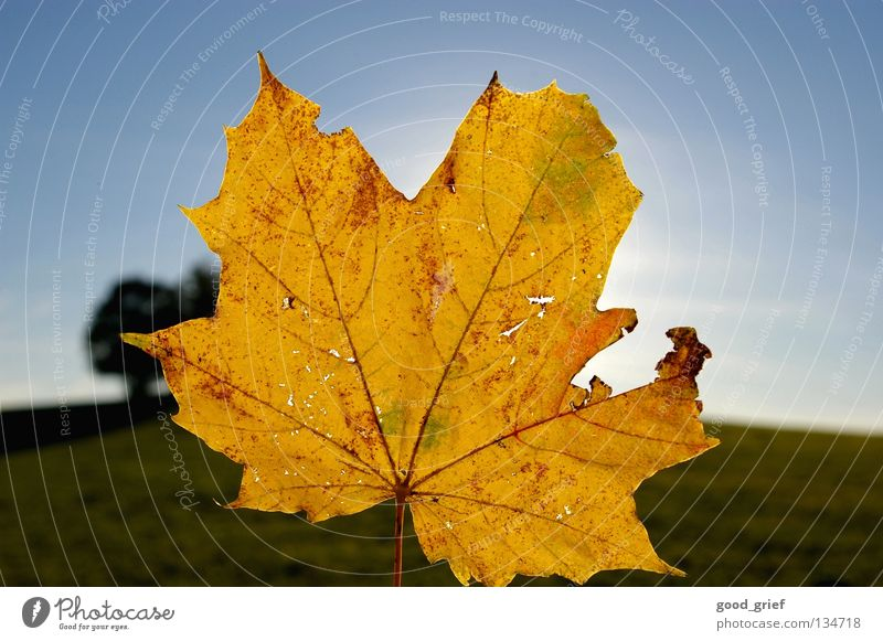 wärme Ahorn Blatt Himmel Herbst grün gelb Baum leaf sky Schönes Wetter blau
